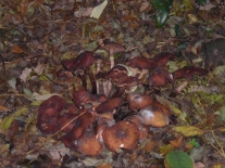 richmond-park-foraging-mushrooms-etc-011